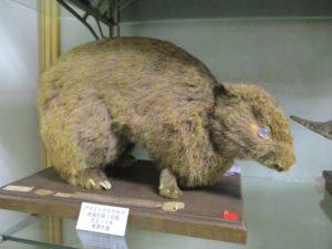 アマミノクロウサギ(大正13年・絶滅危惧IB類)