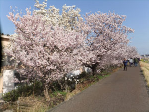 満開の春めき桜